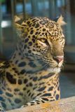 Leopardo capturado en el bosque de Buxa imagen de archivo libre de regalías