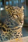 Leopardo catturato alla foresta di Buxa immagine stock libera da diritti