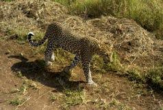 Leopardo che cammina attraverso il pascolo nel Serengeti, Tanzania fotografie stock