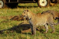 leopardo che cammina attraverso le pianure con un veicolo di safari nei precedenti fotografia stock