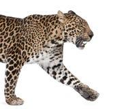 Leopardo che cammina davanti ad una priorità bassa bianca immagine stock libera da diritti