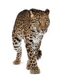 Leopardo che cammina davanti ad una priorità bassa bianca immagini stock