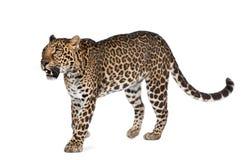 Leopardo che cammina davanti ad una priorità bassa bianca fotografia stock libera da diritti