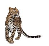Leopardo che cammina davanti ad una priorità bassa bianca Fotografia Stock