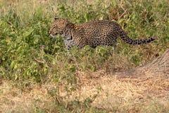 Leopardo che cammina nel cespuglio Fotografia Stock