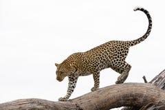 Leopardo che cammina su un albero Fotografia Stock