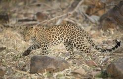 Leopardo che cammina su un pavimento asciutto della foresta Fotografie Stock Libere da Diritti