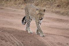 Leopardo che cammina su una traccia nella savana fotografia stock