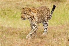 Leopardo che cammina sull'erba immagine stock libera da diritti