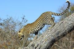 Leopardo che discende un albero Fotografia Stock