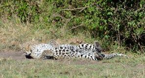 Leopardo che fa il rotolo Fotografia Stock