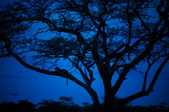Leopardo che gode delle ore blu Immagine Stock