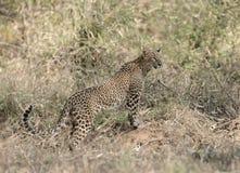 Leopardo che guarda fuori per una minaccia Fotografie Stock