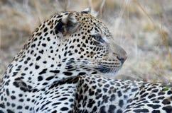 Leopardo che guarda intento Immagine Stock Libera da Diritti