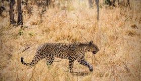 Leopardo che insegue con la concentrazione ed il fuoco completi immagine stock libera da diritti