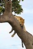 Leopardo che pende dall'albero immagine stock libera da diritti