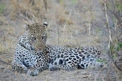 Leopardo che relazing nel cespuglio Immagine Stock Libera da Diritti