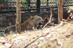 Leopardo che riposa in uno zoo immagini stock