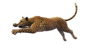Leopardo che salta, animale selvatico isolato su bianco Fotografie Stock Libere da Diritti