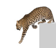 Leopardo che si arrampica davanti ad una priorità bassa bianca Immagine Stock