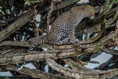 Leopardo che si leva in piedi sull'albero Sosta nazionale kenya tanzania Maasai Mara serengeti Un'illustrazione eccellente fotografia stock libera da diritti