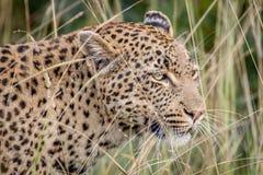 Leopardo che si nasconde nelle alte erbe Fotografia Stock