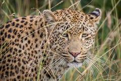 Leopardo che si nasconde nelle alte erbe Fotografie Stock Libere da Diritti
