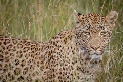 Leopardo che si nasconde nelle alte erbe Immagine Stock