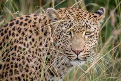 Leopardo che si nasconde nelle alte erbe Fotografia Stock Libera da Diritti