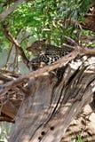 Leopardo che si nasconde in un albero Fotografia Stock