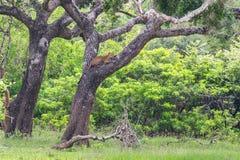 Leopardo che si rilassa su un albero Fotografie Stock Libere da Diritti