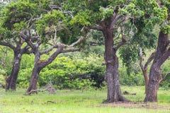 Leopardo che si rilassa su un albero Fotografia Stock Libera da Diritti