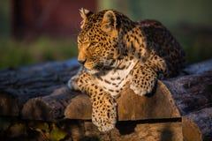 Leopardo che si siede da solo sui ceppi Immagine Stock Libera da Diritti