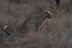 Leopardo che si siede nell'oscurità che cerca preda notturna in uno spotligh Fotografia Stock
