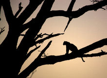 Leopardo che si siede in un albero Immagini Stock Libere da Diritti