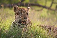 Leopardo che si trova nell'erba immagini stock