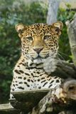 Leopardo che si trova su un albero fotografie stock libere da diritti
