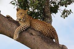 Leopardo che si trova sull'albero Fotografia Stock Libera da Diritti