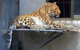 Leopardo chino o leopardo de China del norte Imagen de archivo