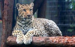 Leopardo chino o leopardo de China del norte Foto de archivo libre de regalías