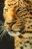 Leopardo cinese Immagine Stock