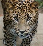 Leopardo cingalês Imagem de Stock Royalty Free