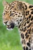 Leopardo con i denti Fotografia Stock Libera da Diritti