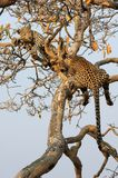 Leopardo con il cub Fotografia Stock Libera da Diritti