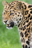 Leopardo con los dientes Fotografía de archivo libre de regalías