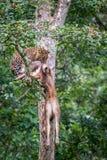 Leopardo con matanza Imágenes de archivo libres de regalías