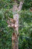 Leopardo con su matanza en un árbol Fotografía de archivo