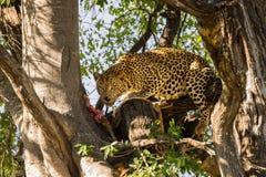 Leopardo con su presa en árbol Imagen de archivo