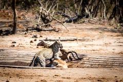 Leopardo con un impala Imagen de archivo