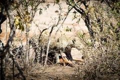 Leopardo con un impala Fotografía de archivo